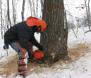 Notching a big red oak